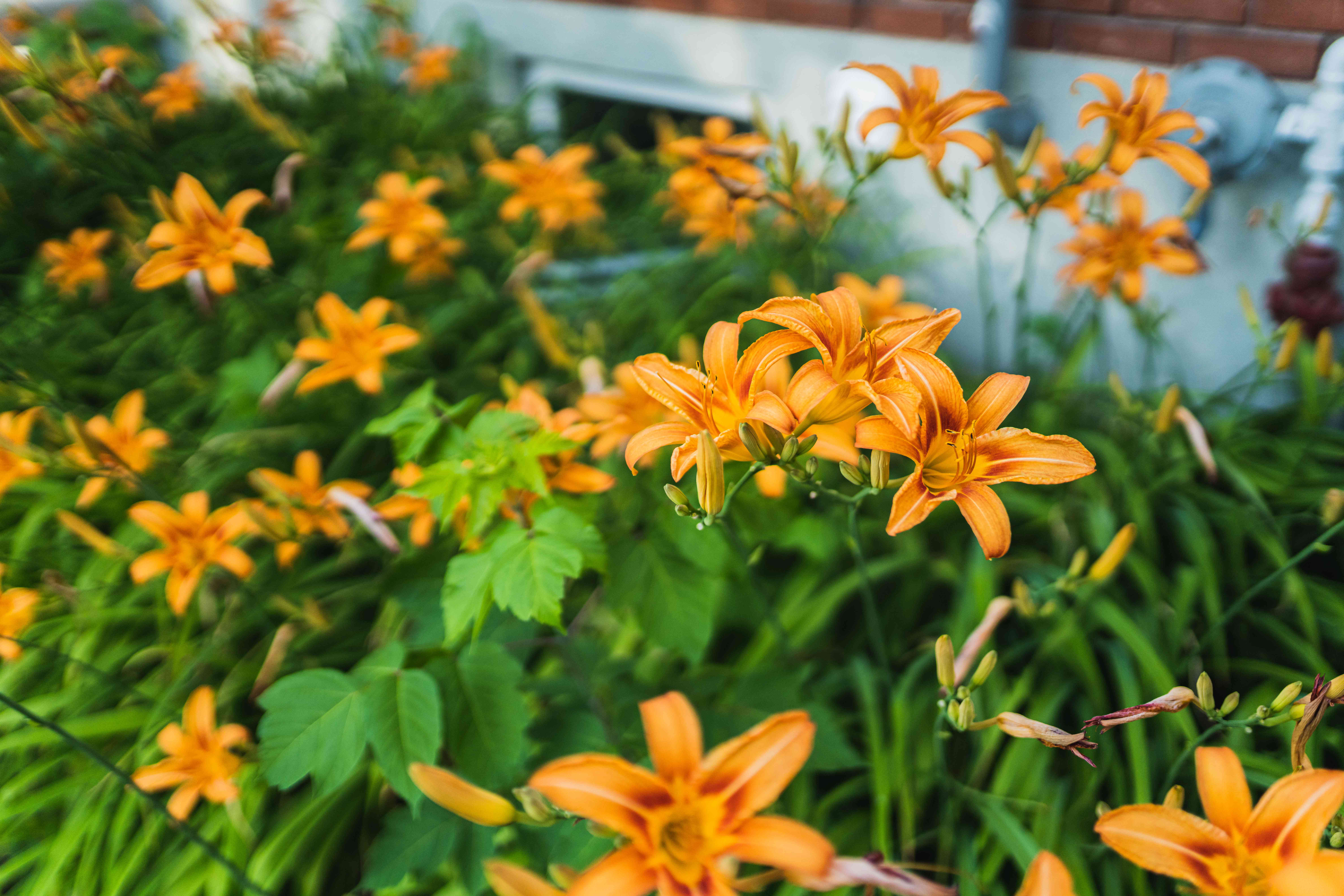 Orange daylily plant surrounded by blade-like foliage with orange flowers on side of building