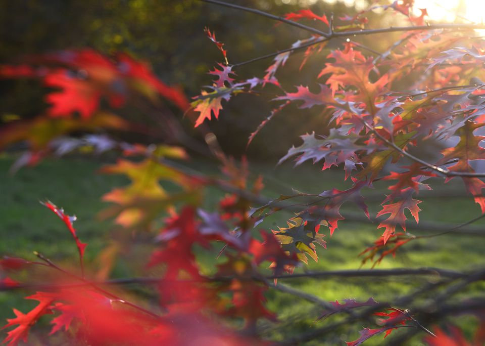 Autumn sunlit leaves of the Quercus scarlet oak. Backlit branches.