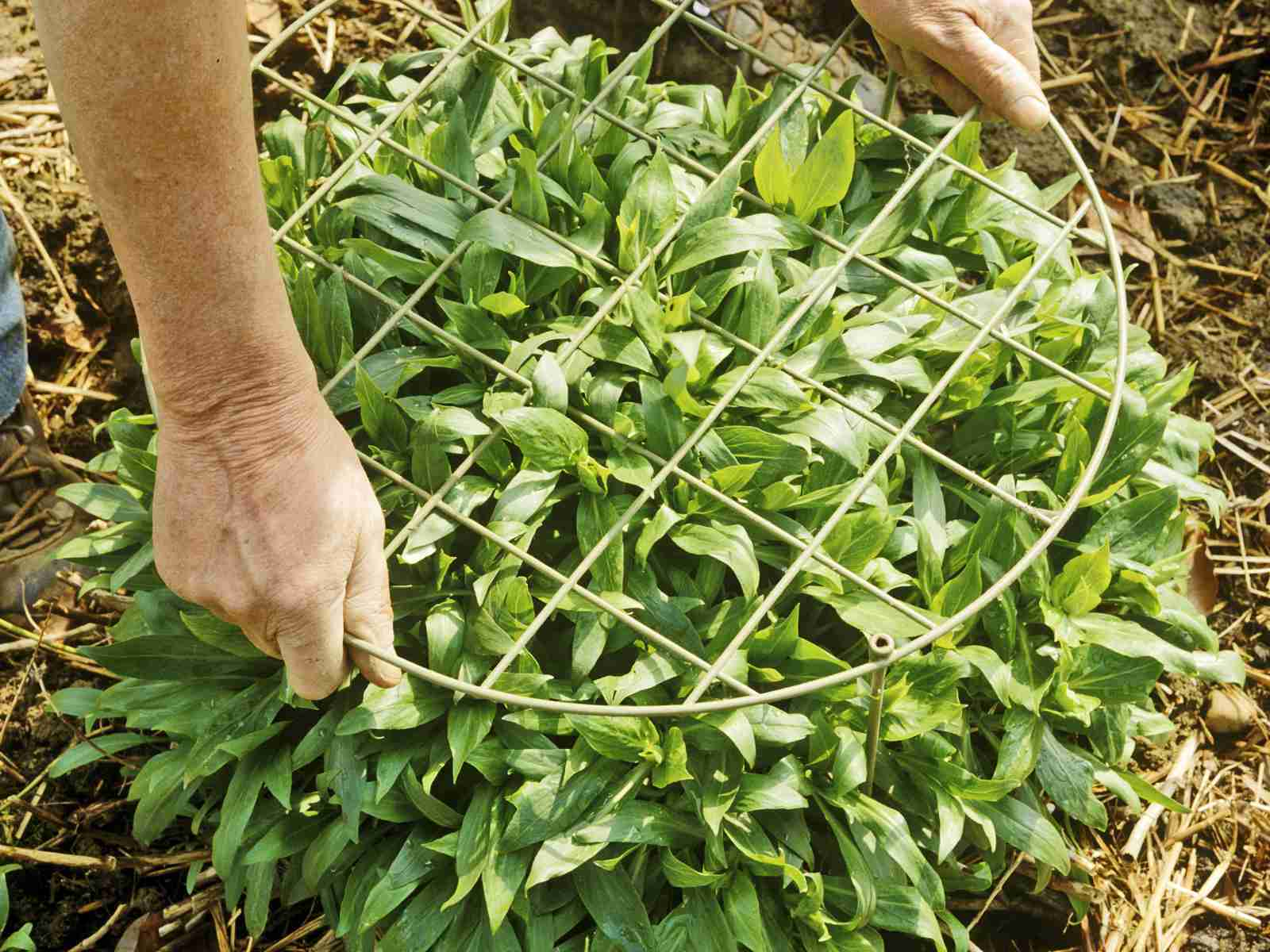 Peony stakes being placed over a plant