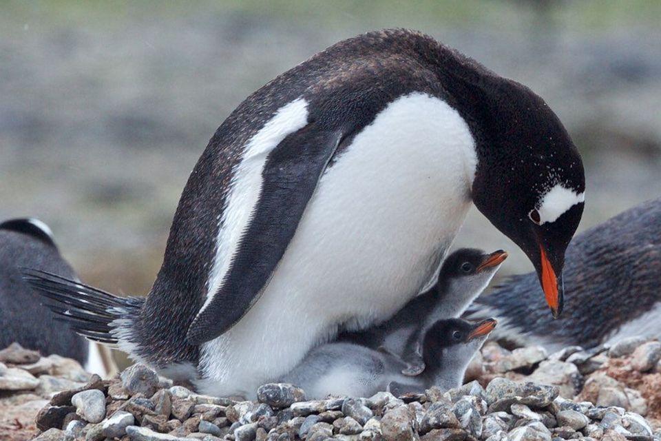 Gentoo Penguin and Chicks