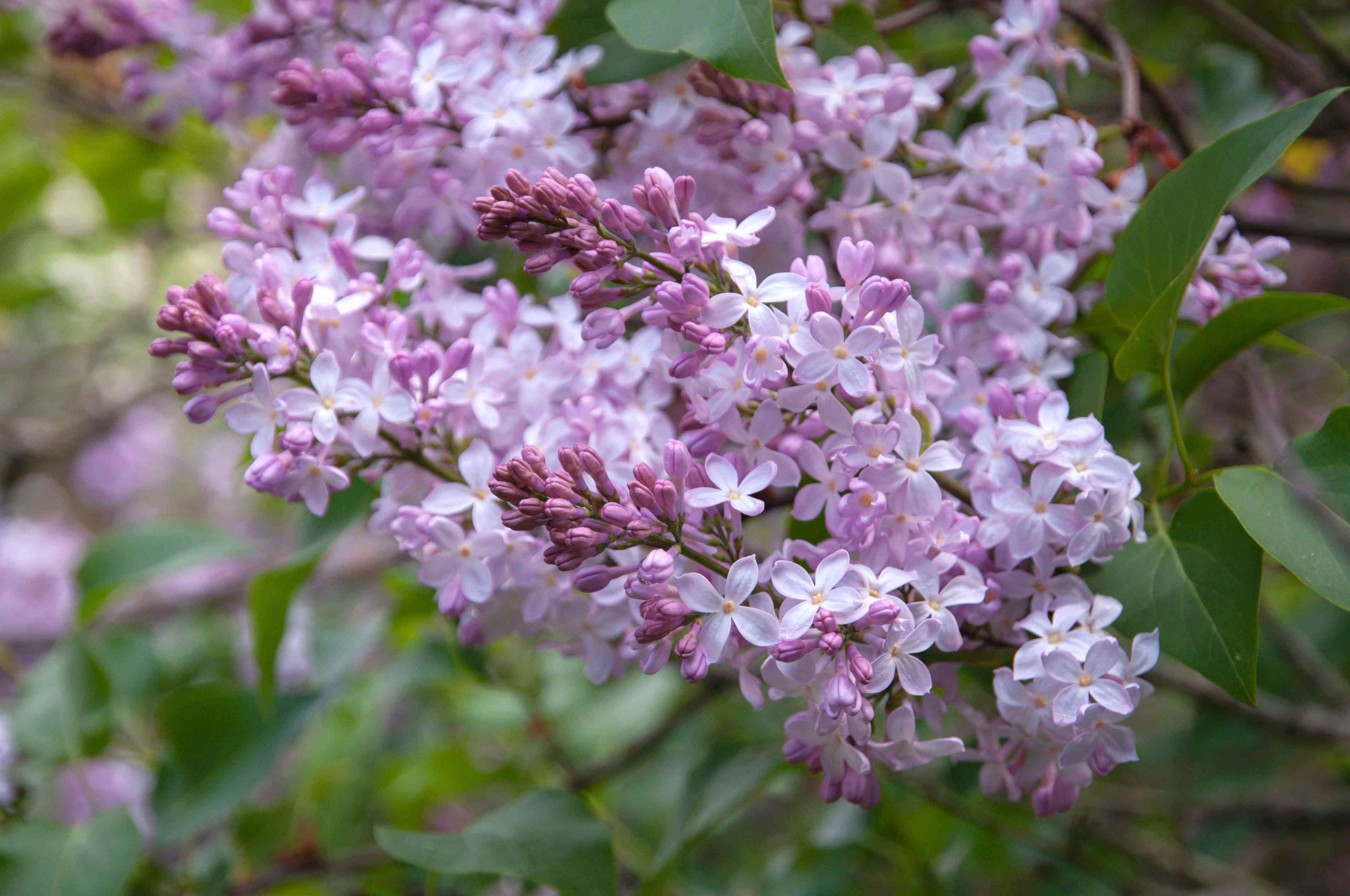 Lilac bush with small white and pink flowers and buds clustered on branches closeup