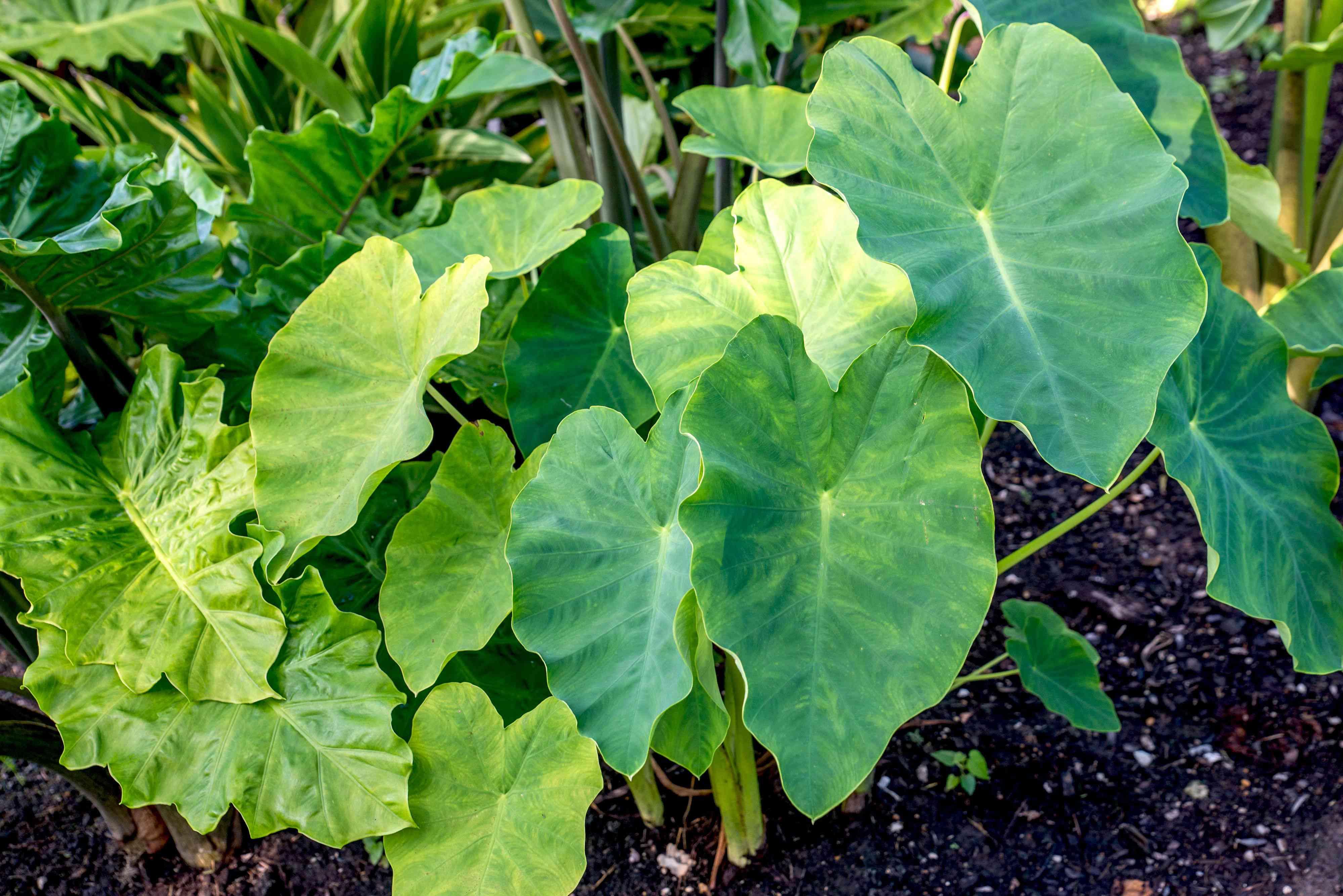 Elephant ear plant with large heart-shaped leaves