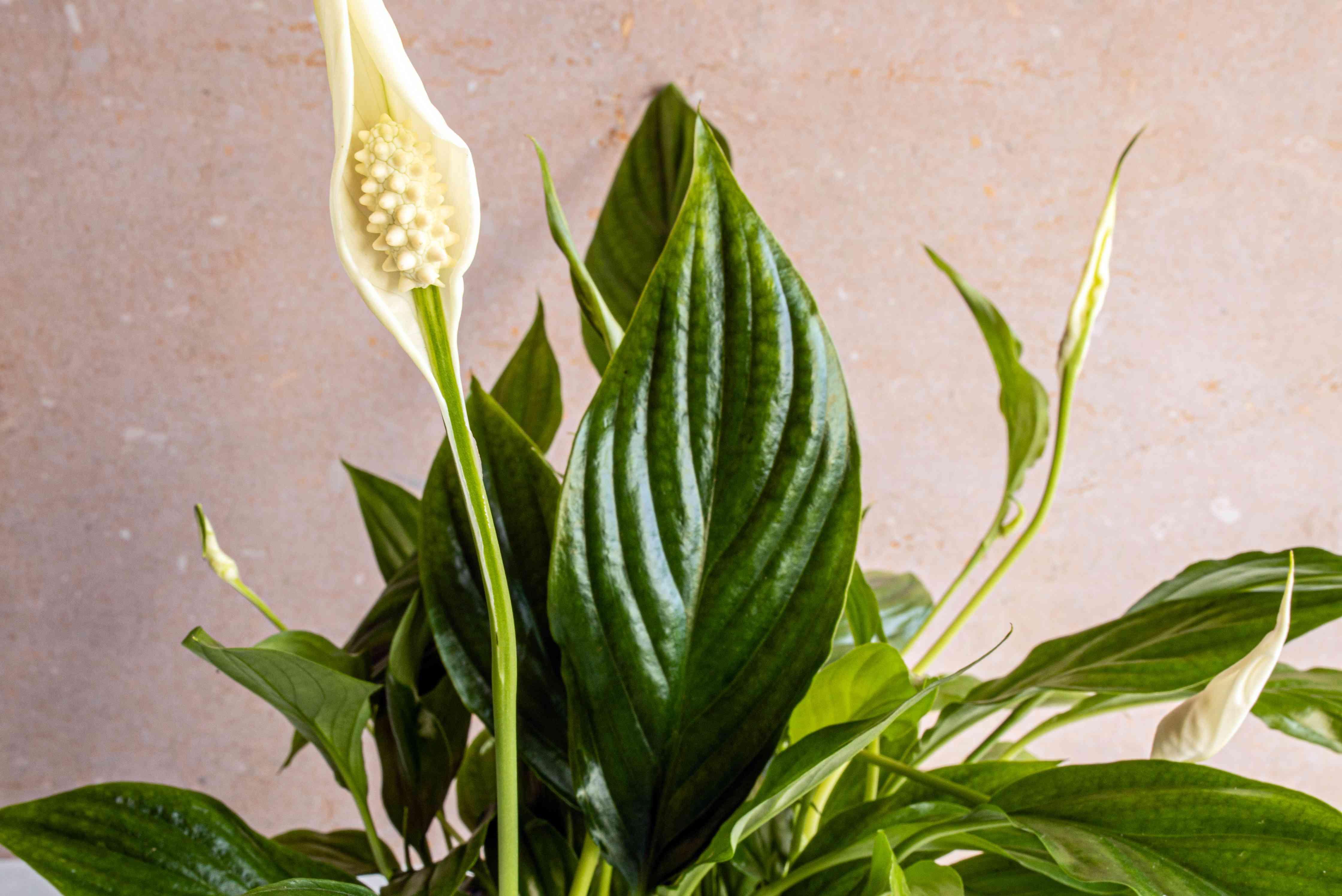 closeup of a peace lily