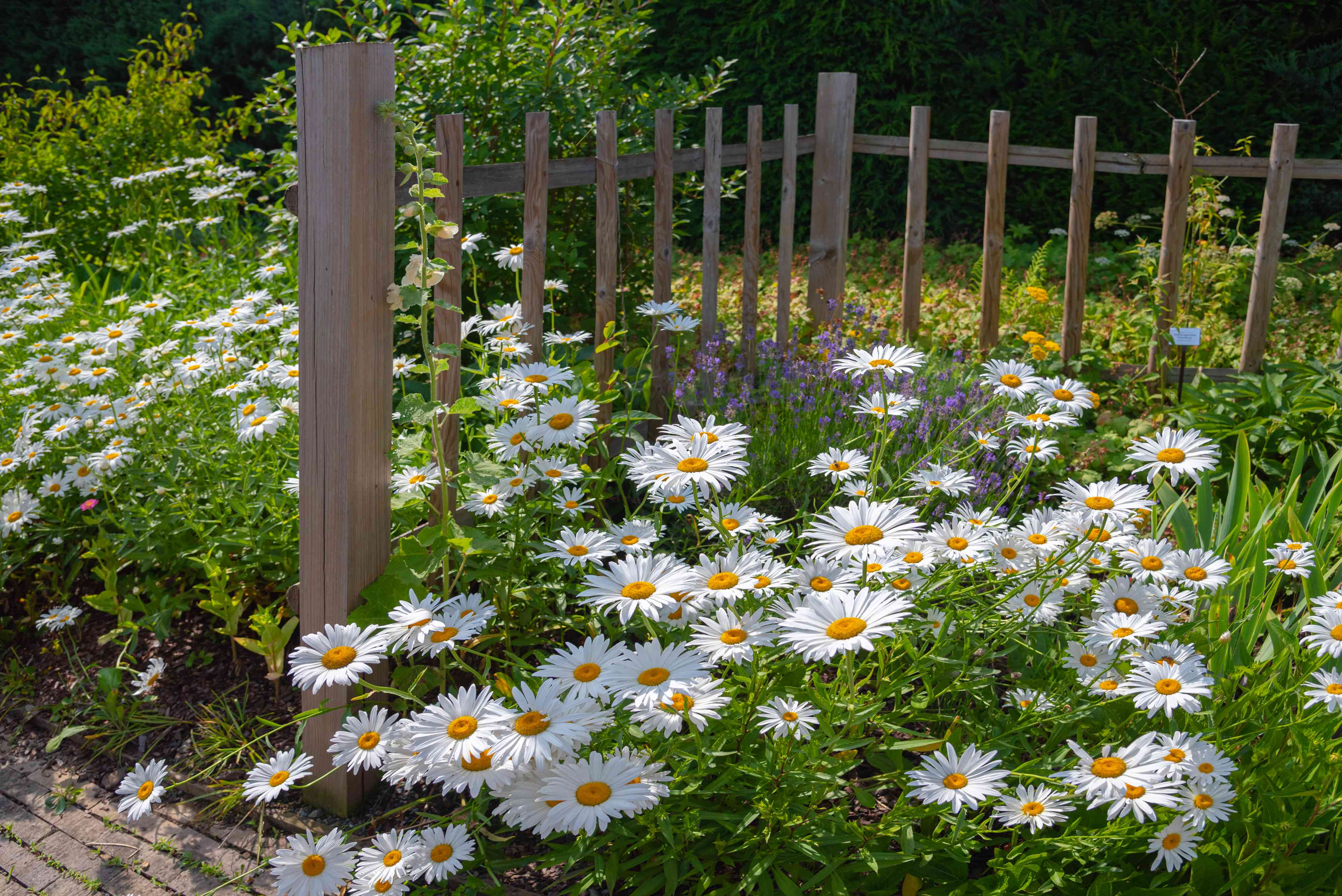 Oxeye daisy flowers with white radiating petals on side of wood fence