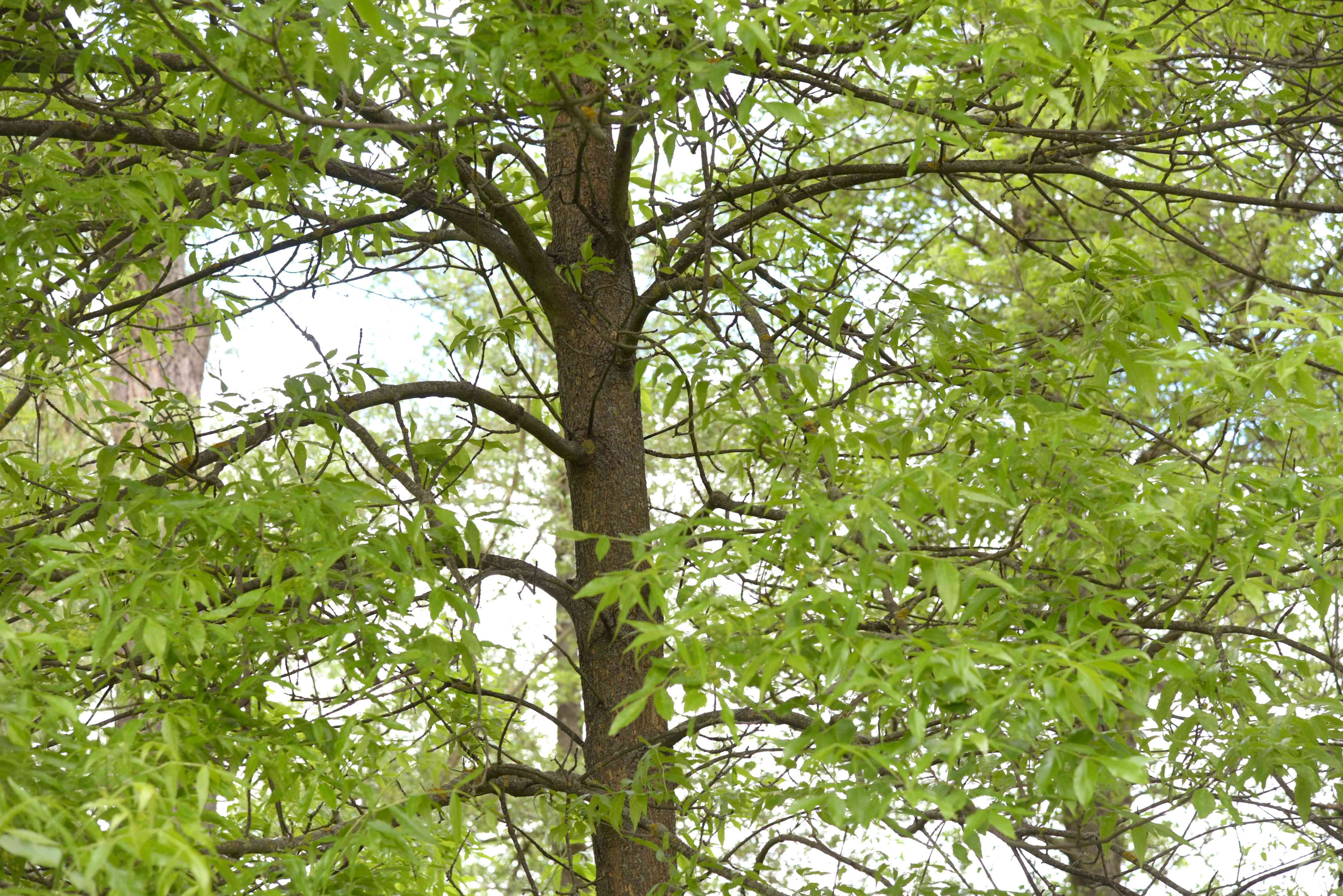 Green ash tree trunk with large green leaves on extending branches