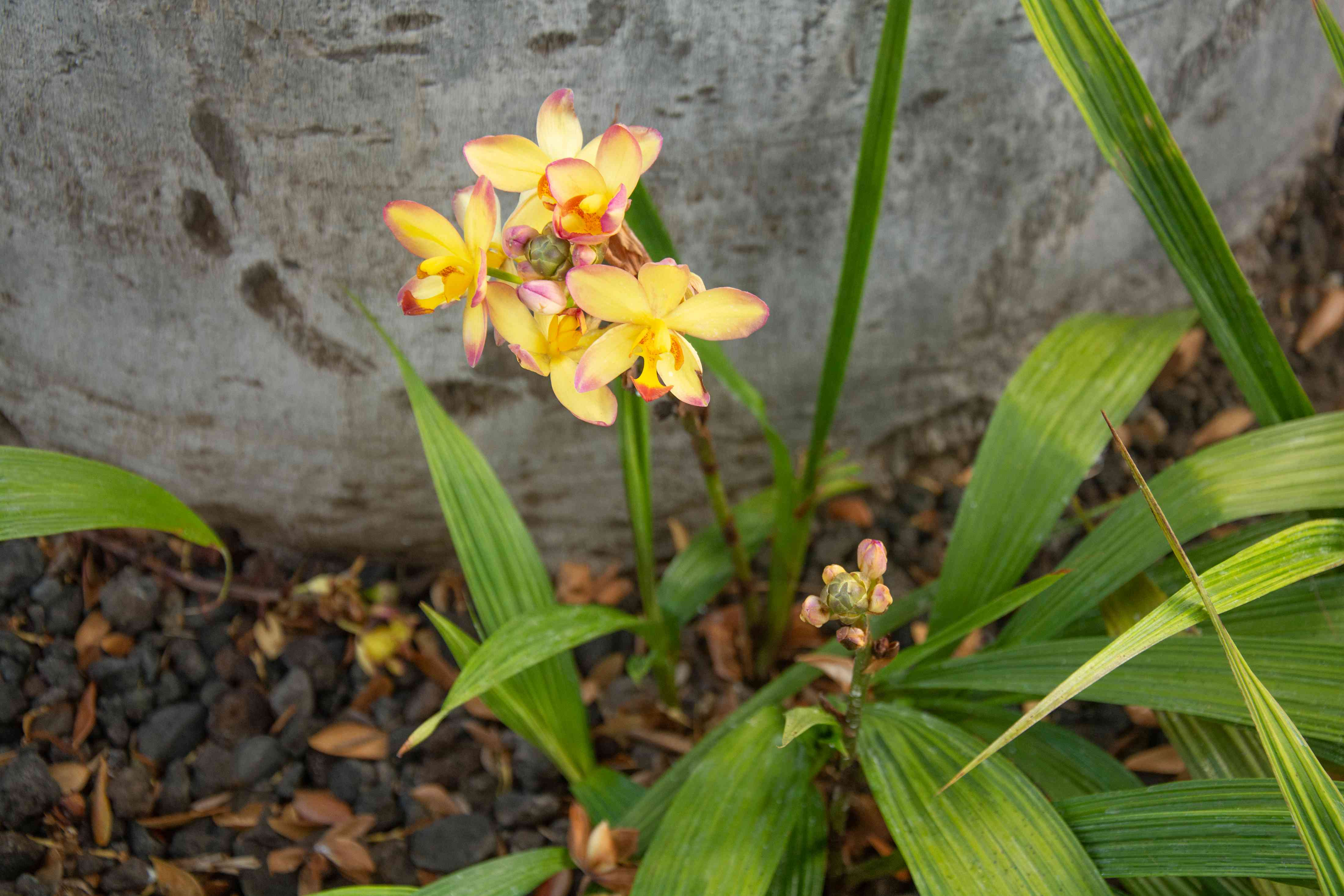 Spathoglottis orchids with yellow flowers with pink tips surrounded by long thick leaf blades