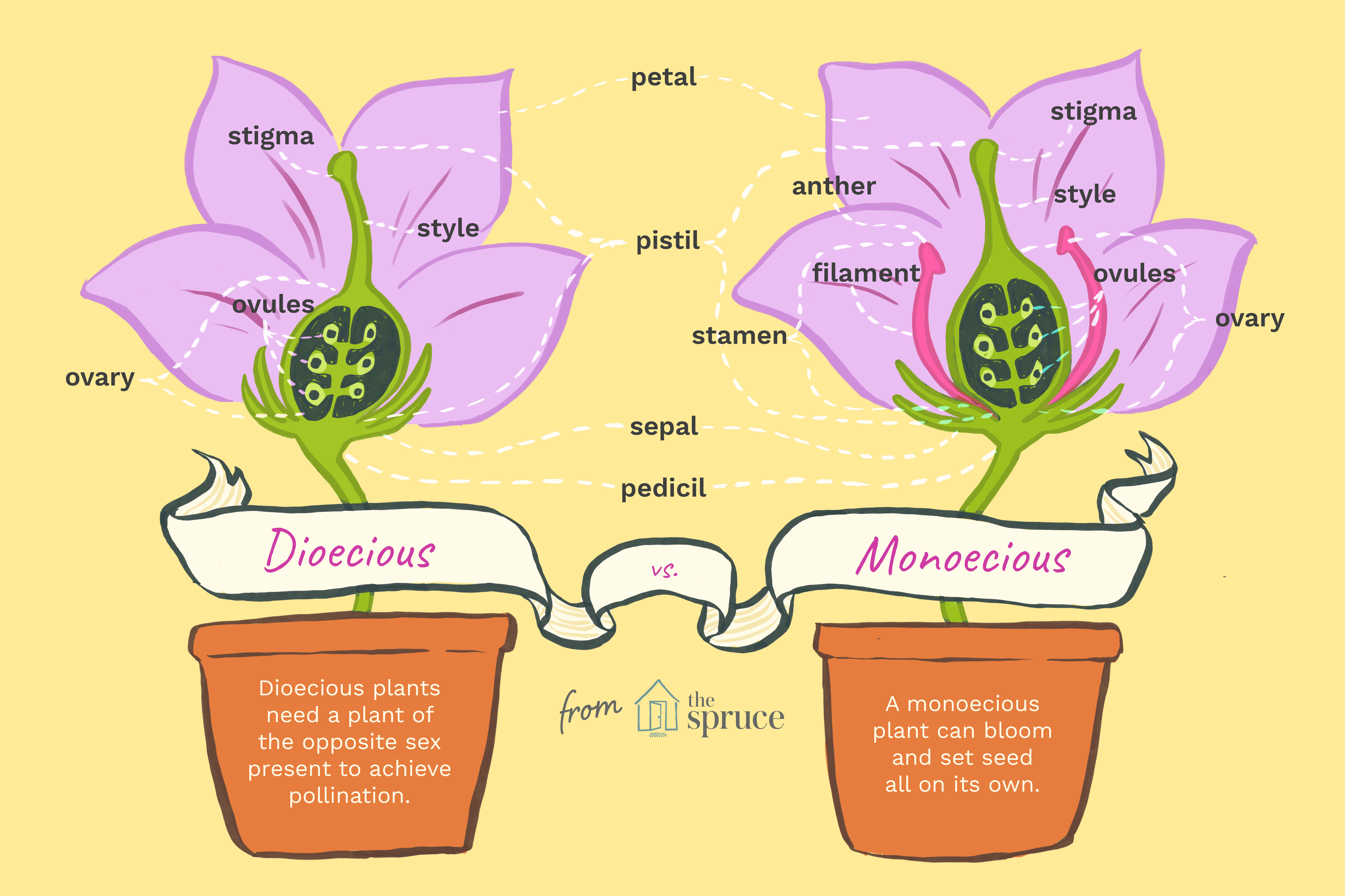 Illustration of dioecious and monoecious plant differences
