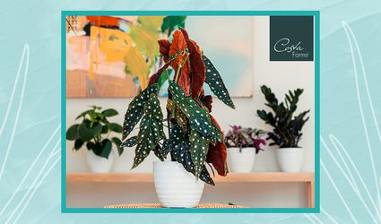 Costa Farms will soon sell plants directly to consumers, including this polka dot begonia