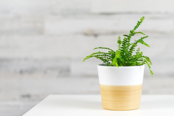 """A small lemon button fern (Nephrolepis cordifolia """"Duffii"""") in a wood and white pot on a white table."""