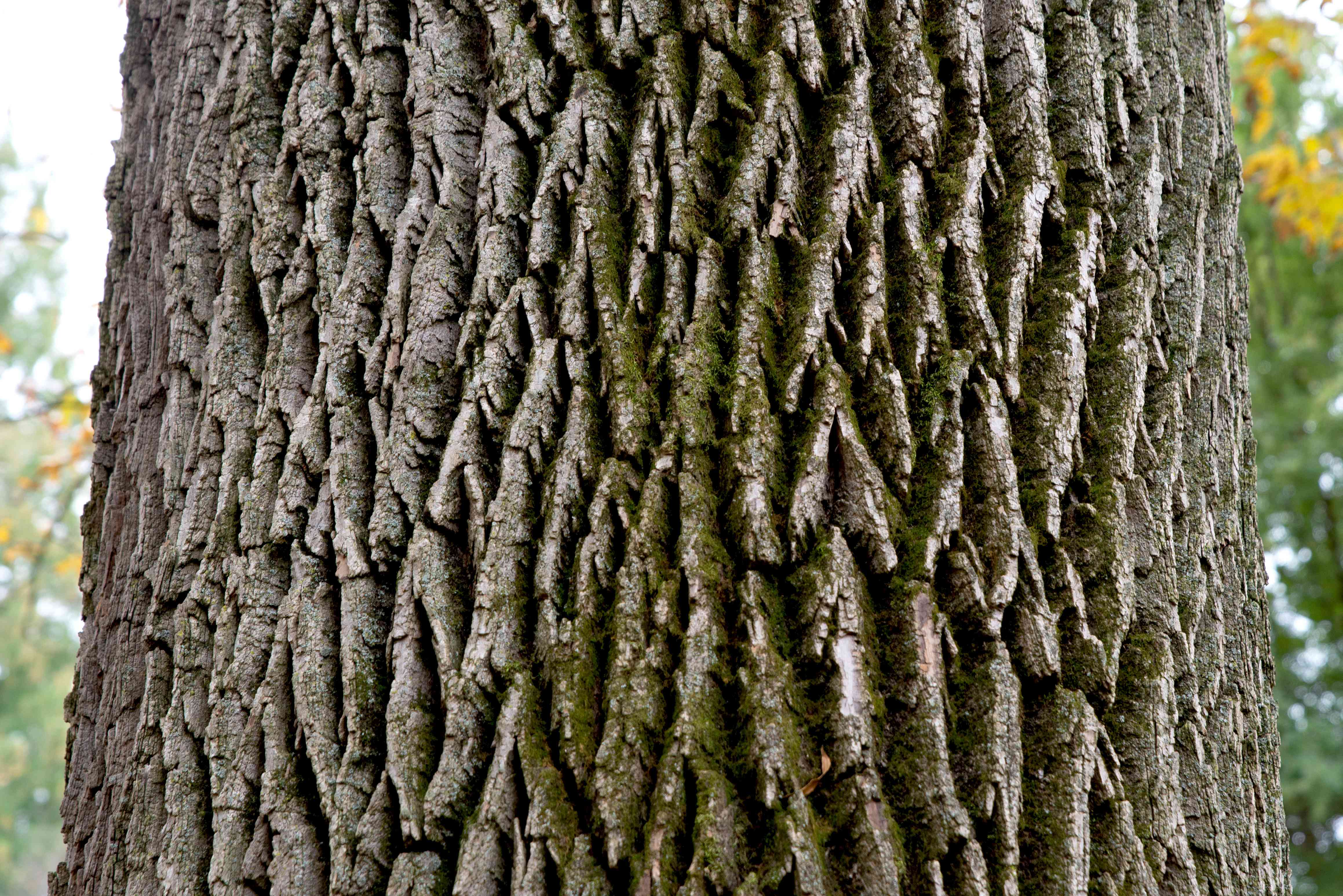 Pumpkin ash tree trunk with deep grooves and ash-colored wood closeup