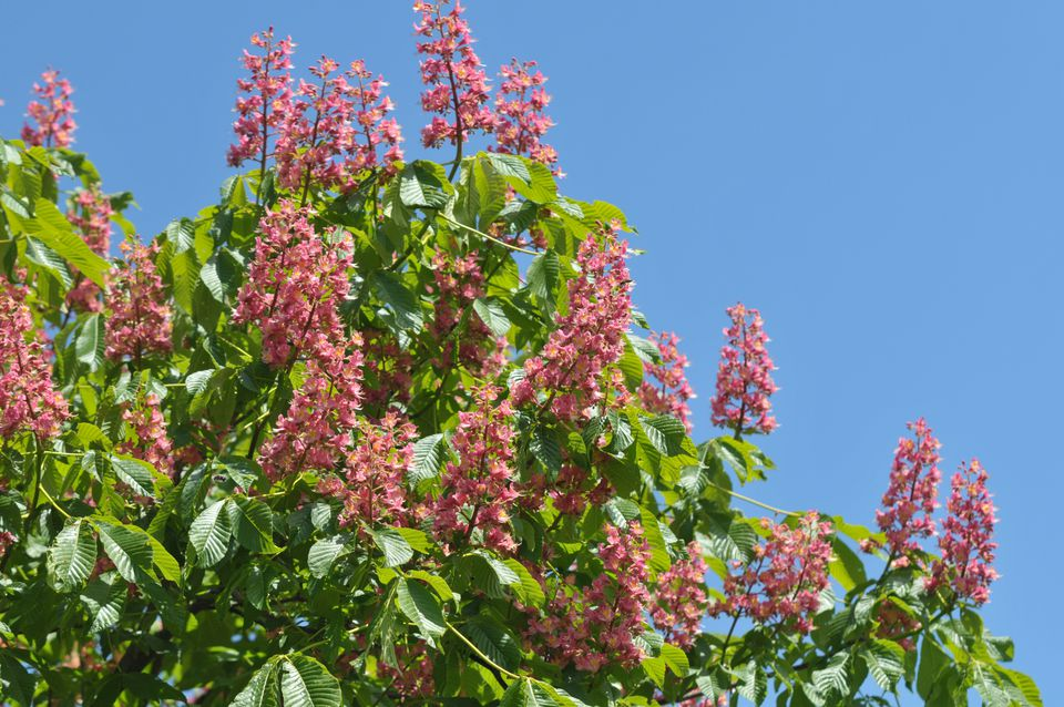 Red buckeye plant with small pink flower spikes surrounded with leaves against blue sky