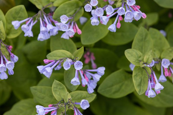 Virginia bluebell plant with small purple trumpet-shaped flowers surrounded by rounded leaves