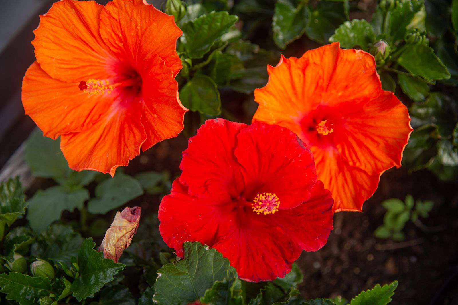 Hibiscus flowers with large bright orange and red petals in garden closeup