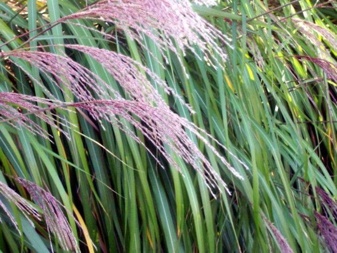Pink-purple tufts of grass bending over green stalks