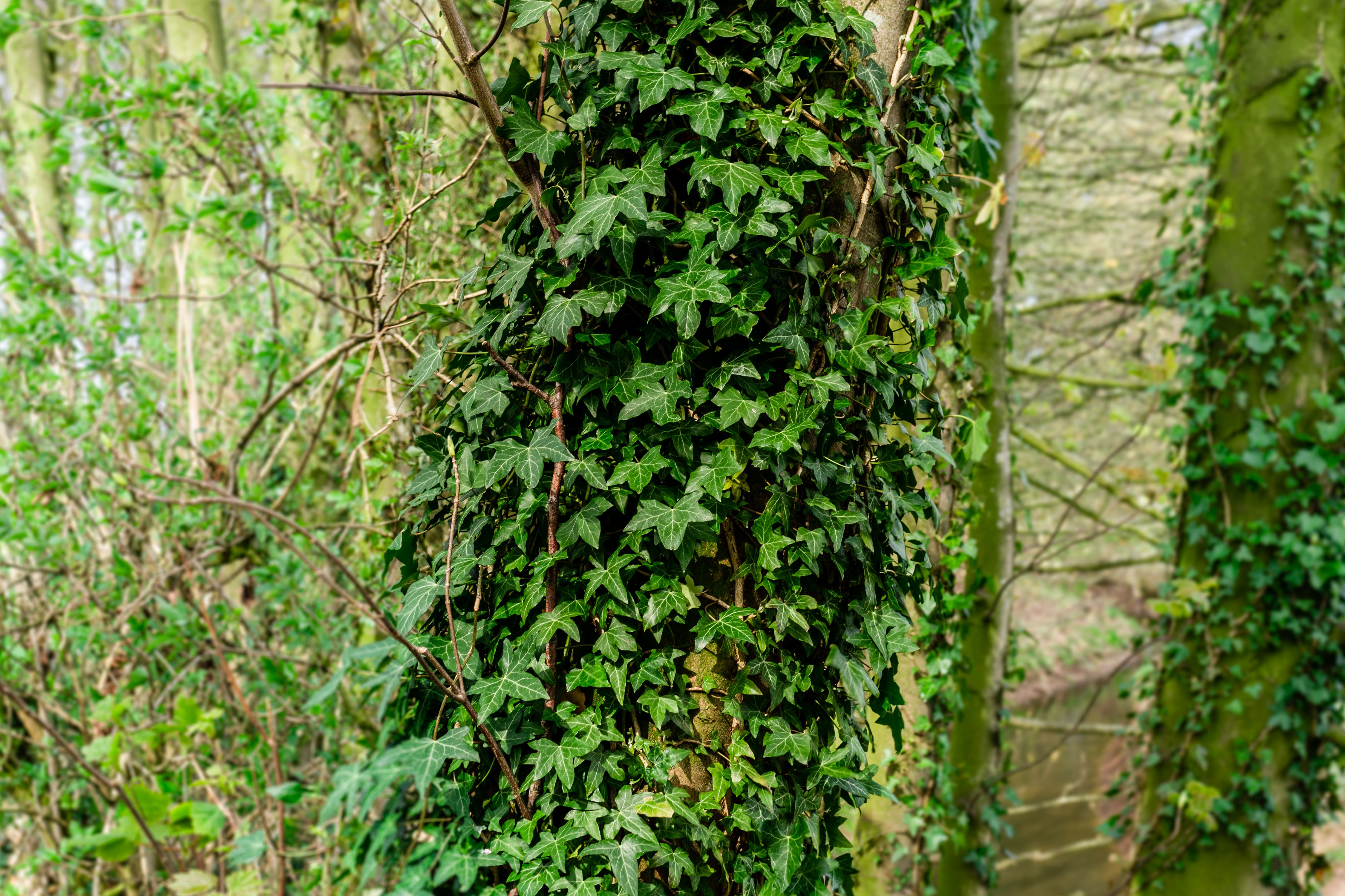 English Ivy Plant: Care and Growing Guide