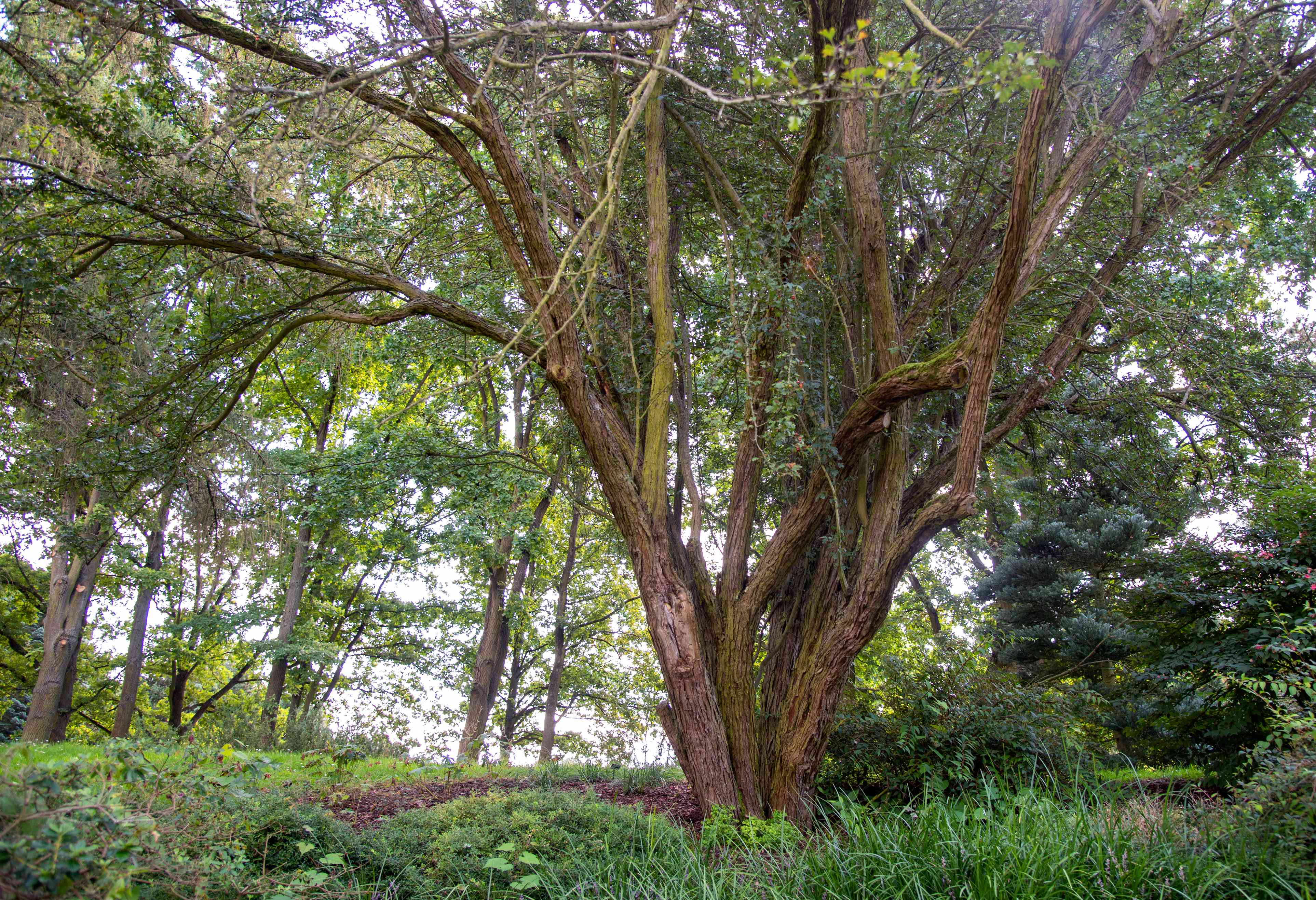 English hawthorn tree with multiple trunks sprawling and twisted branches growing upwards