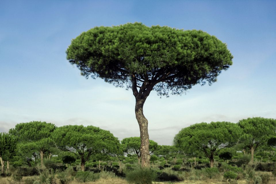 Stone pine tree with a long trunk and an umbrella-like canopy in middle of field