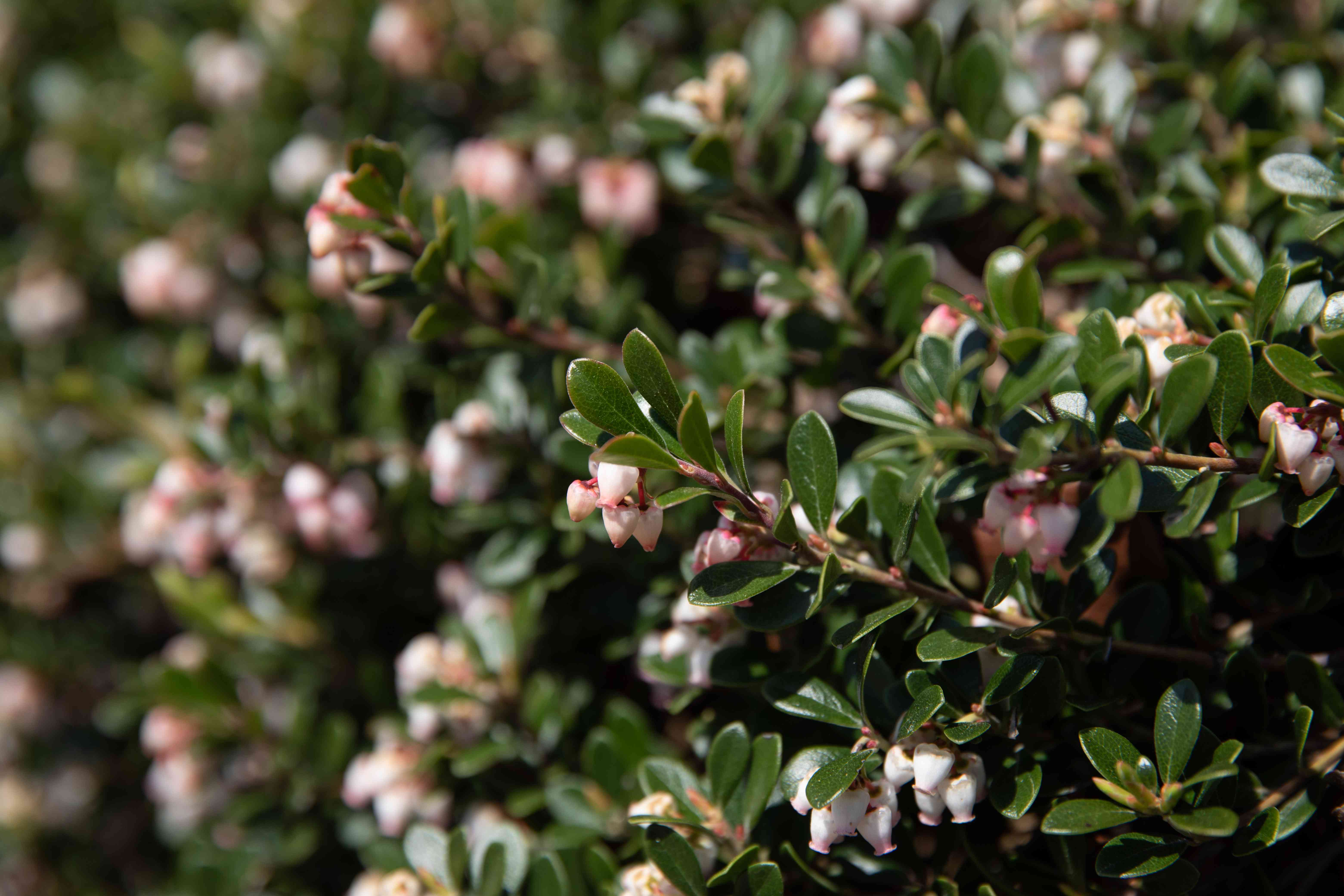 Bearberry sub-shrub branches with small white and pink bell-shaped flowers