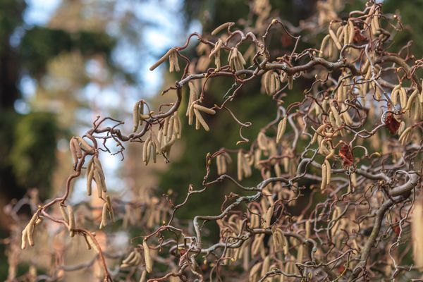 Harry lauder's walking stick shrub with twisted stems