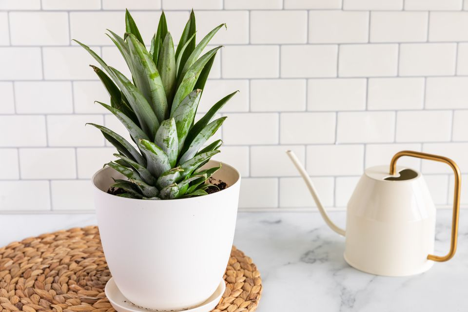 a pineapple plant in a pot
