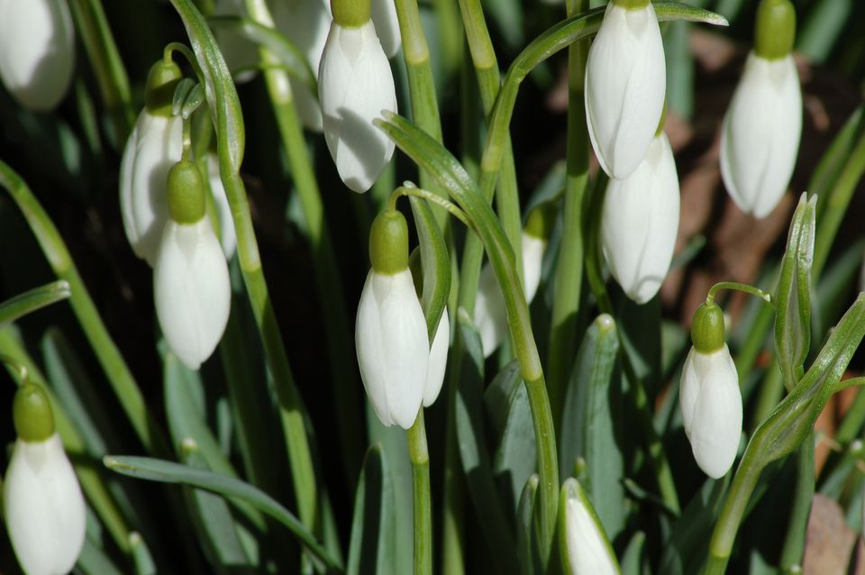 Snowdrops (image) look just as good with closed flowers as after opening. That's why they're drops.