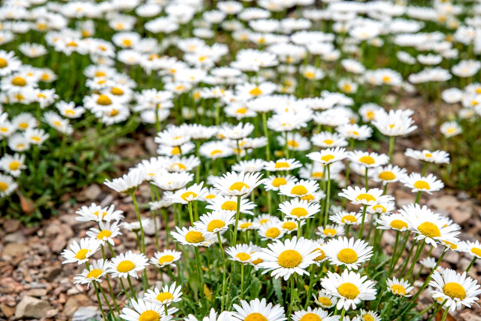 Shasta daisy with white flowers and yellow centers growing in rows