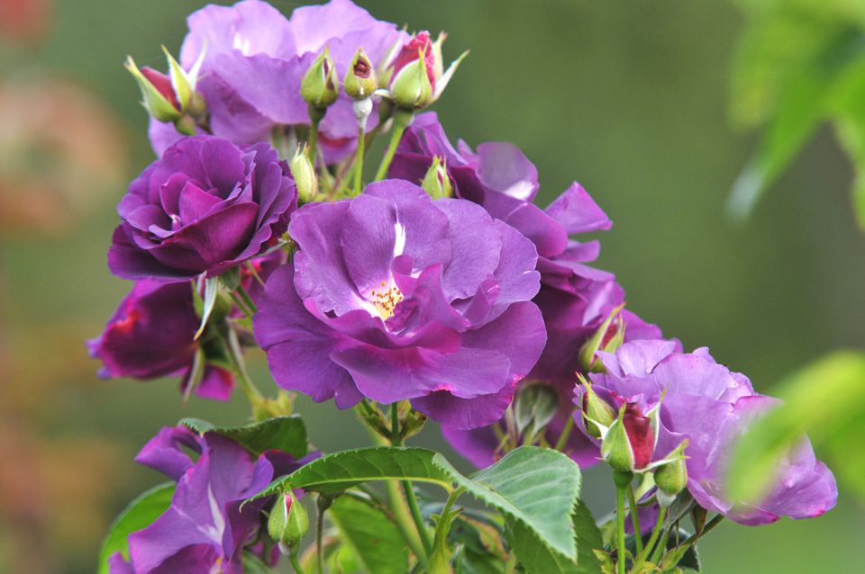 Rhapsody in blue flowers with purple petals and buds on edge of stem