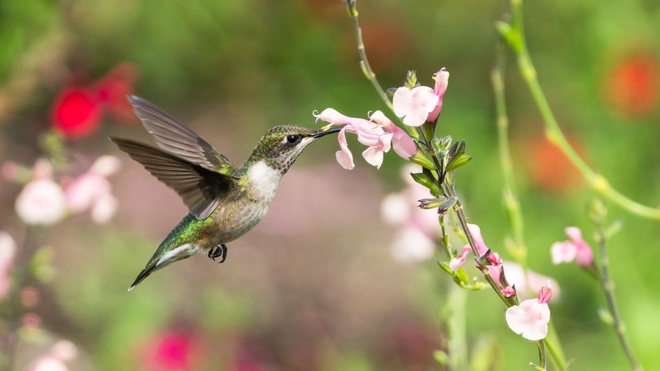 A hummingbird getting nectar from a pink flower.