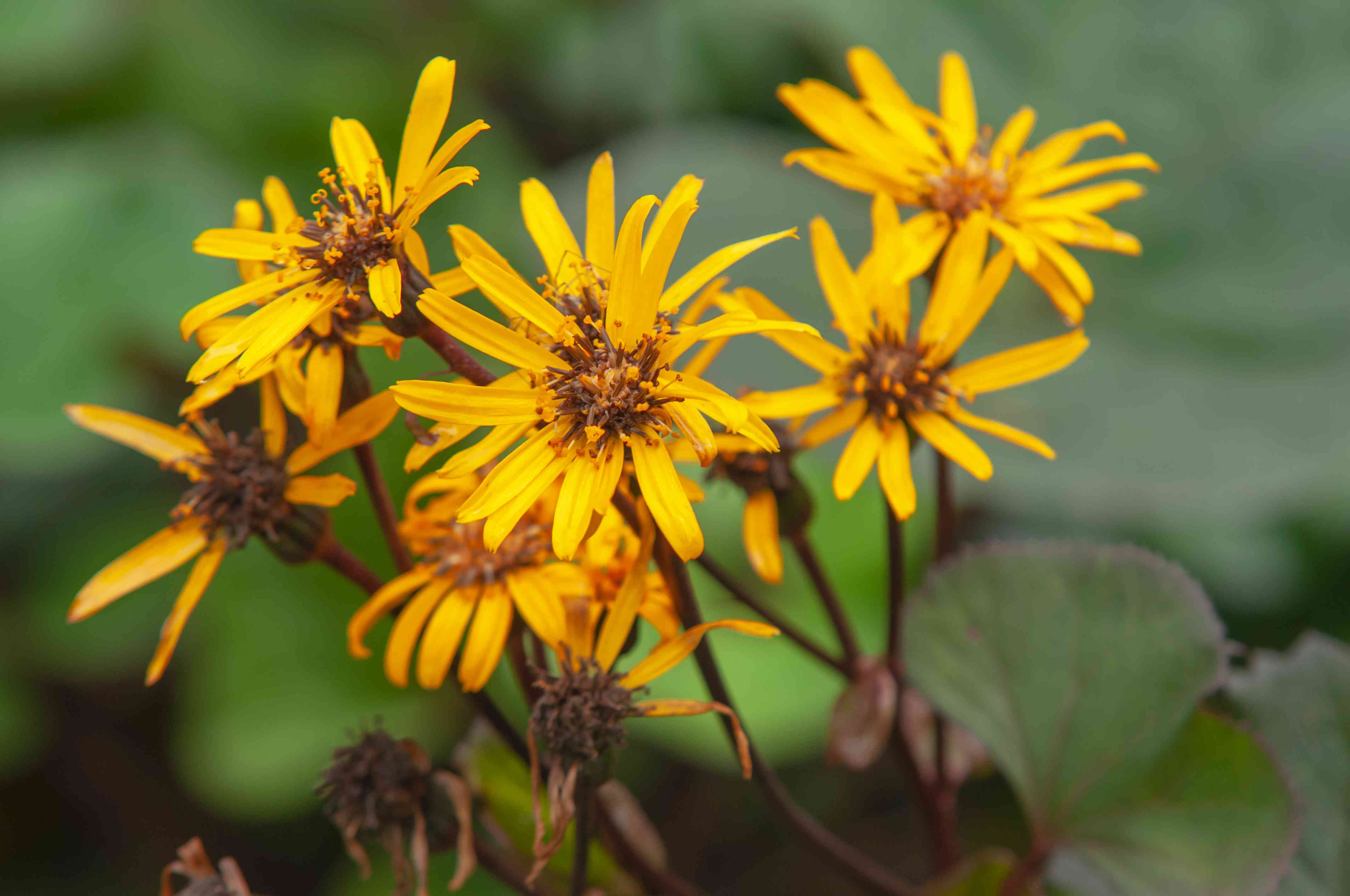 Leopard 'dentata' plant with radiating golden flower clusters on multi-stems closeup