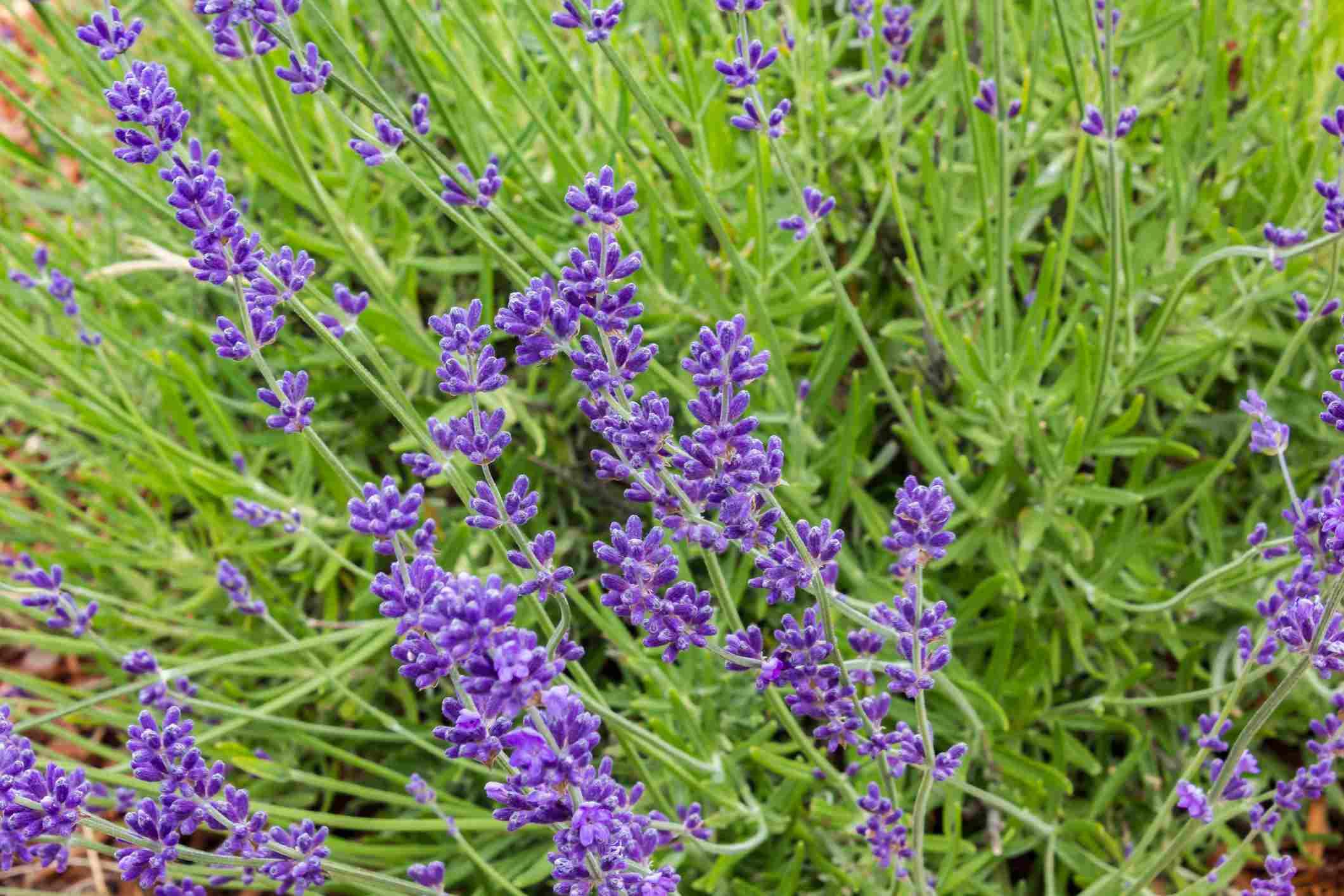 Lavender plants in bloom.