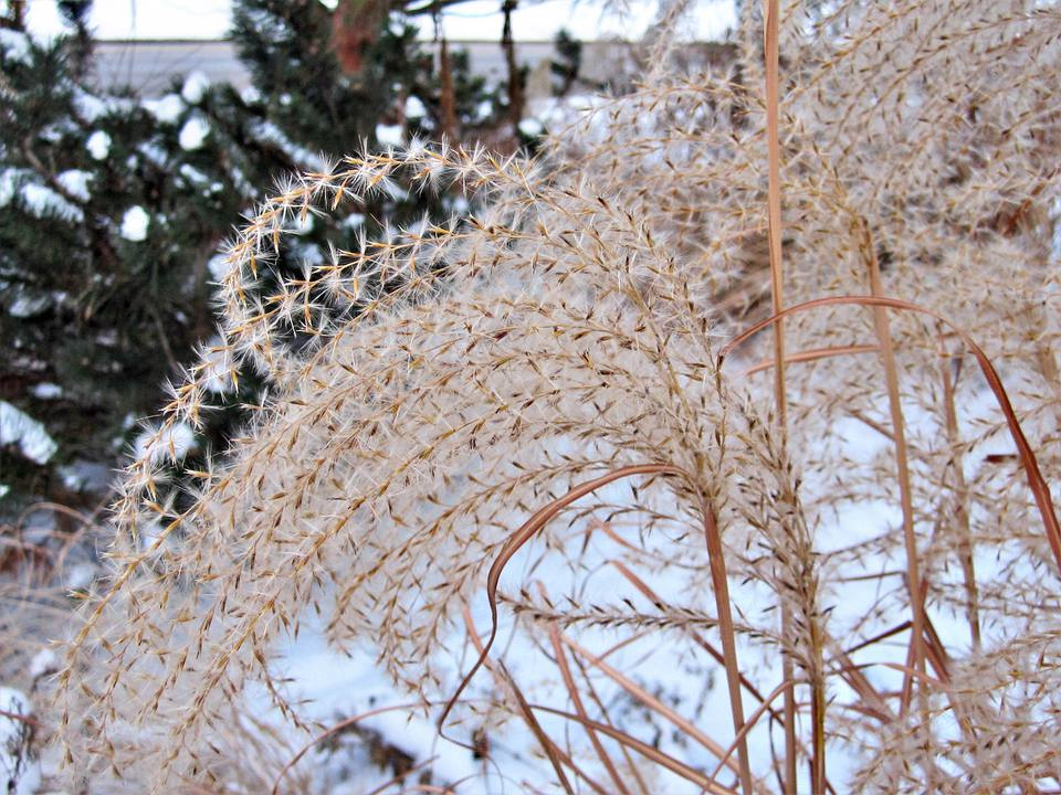 Ornamental Grass in Snow