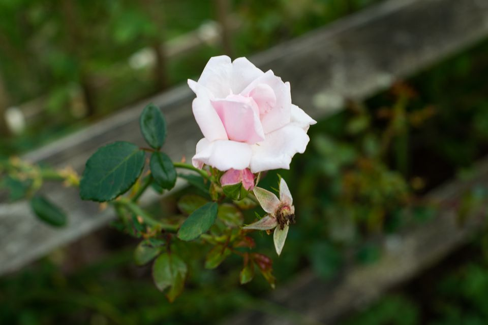 a rose stem ready to be cut