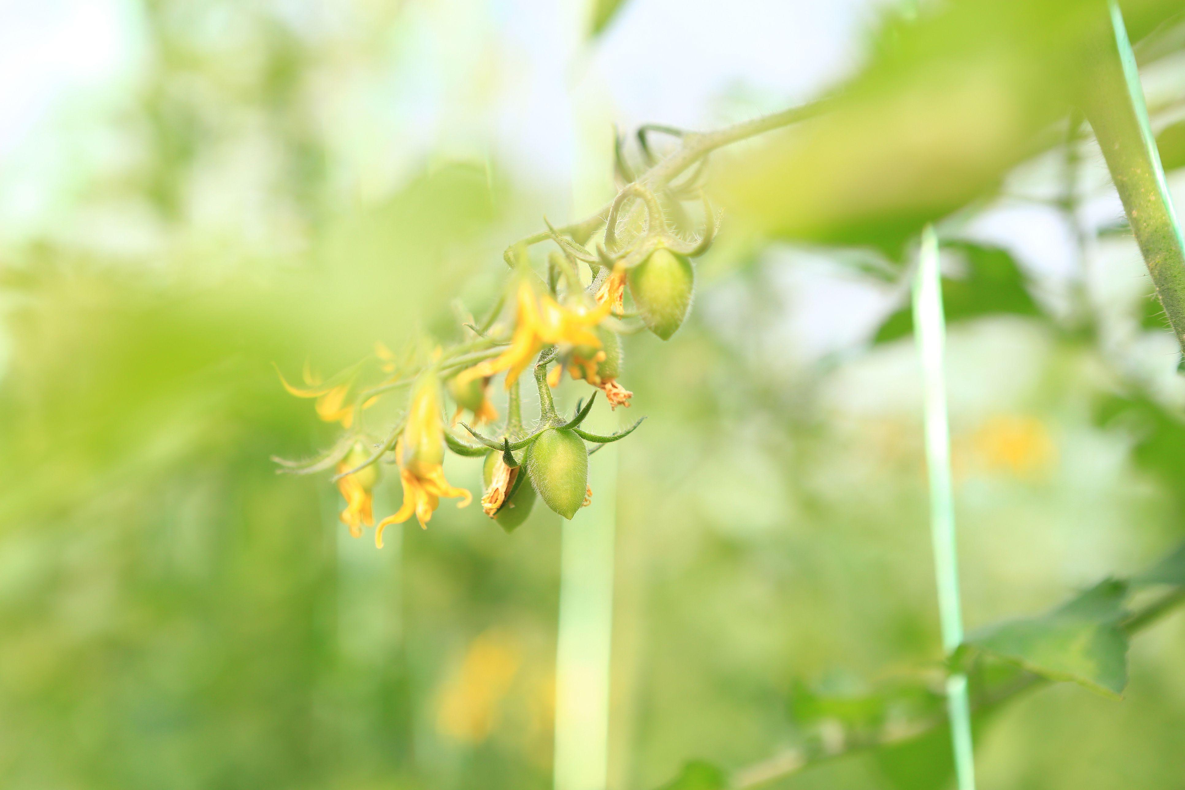 Controlling Tomato Blossom Drop