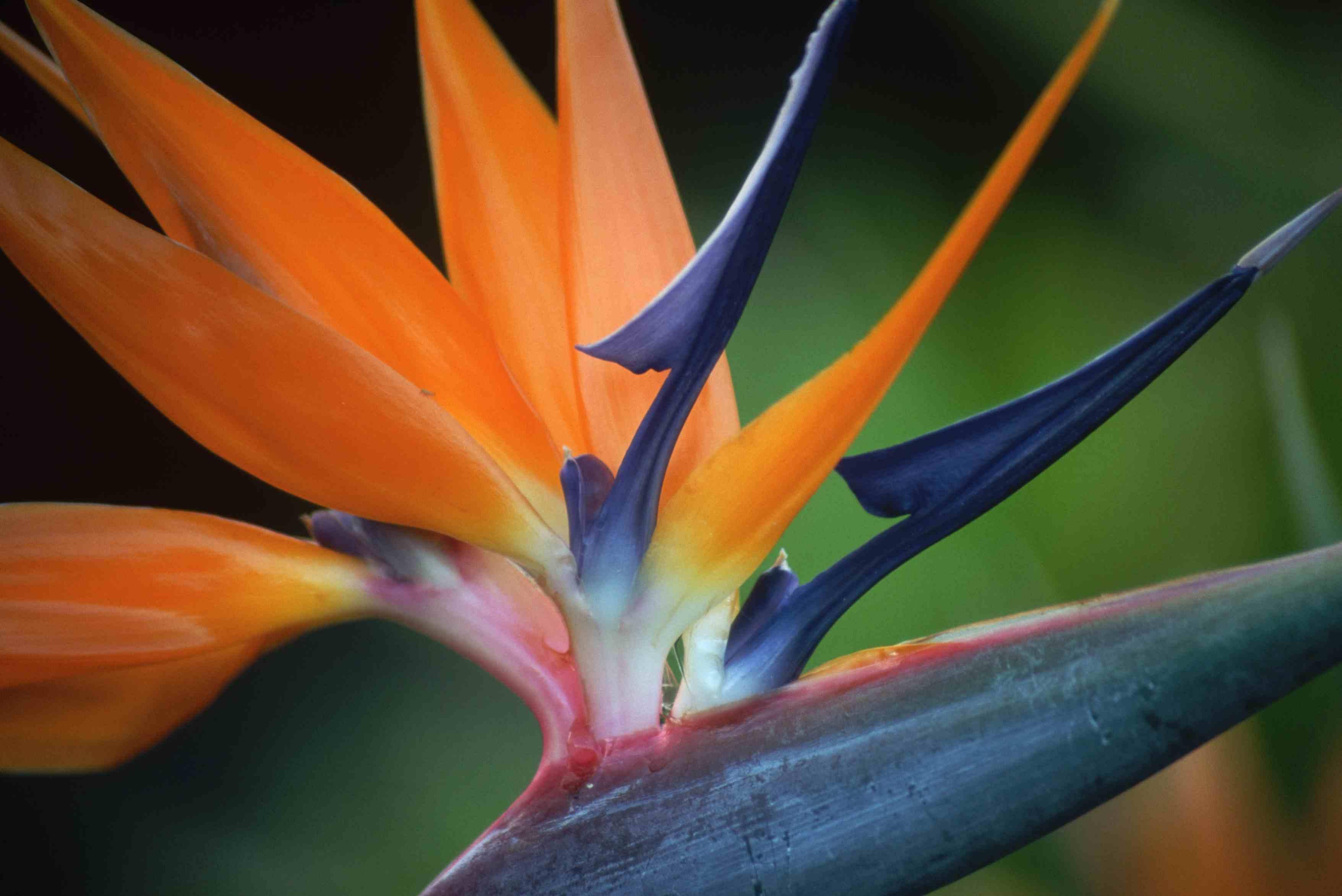 Bird of Paradise Blossom