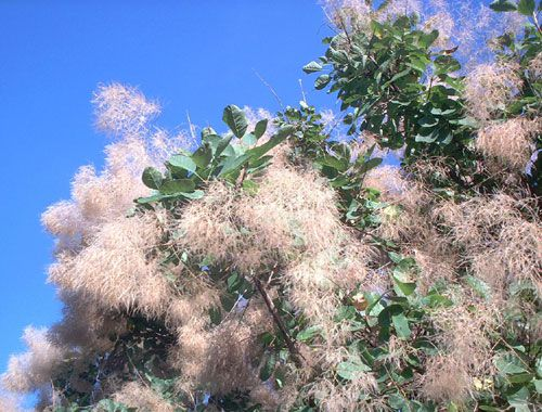 Try a flowering tree in your yard for visual impact smoke tree gets its name from fuzzy flowers smoke tree flowers form a sort of mightylinksfo