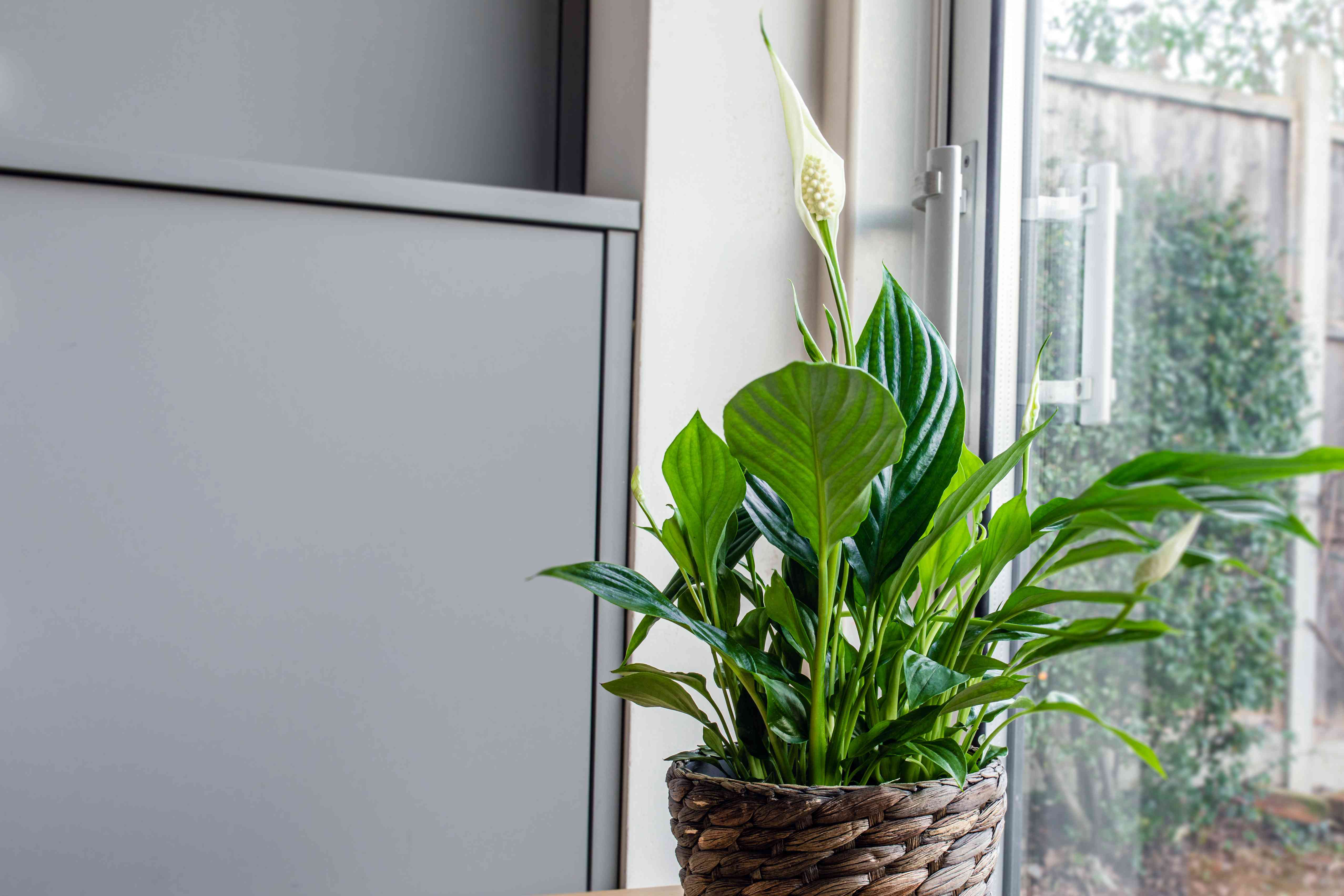 peace lily by a window