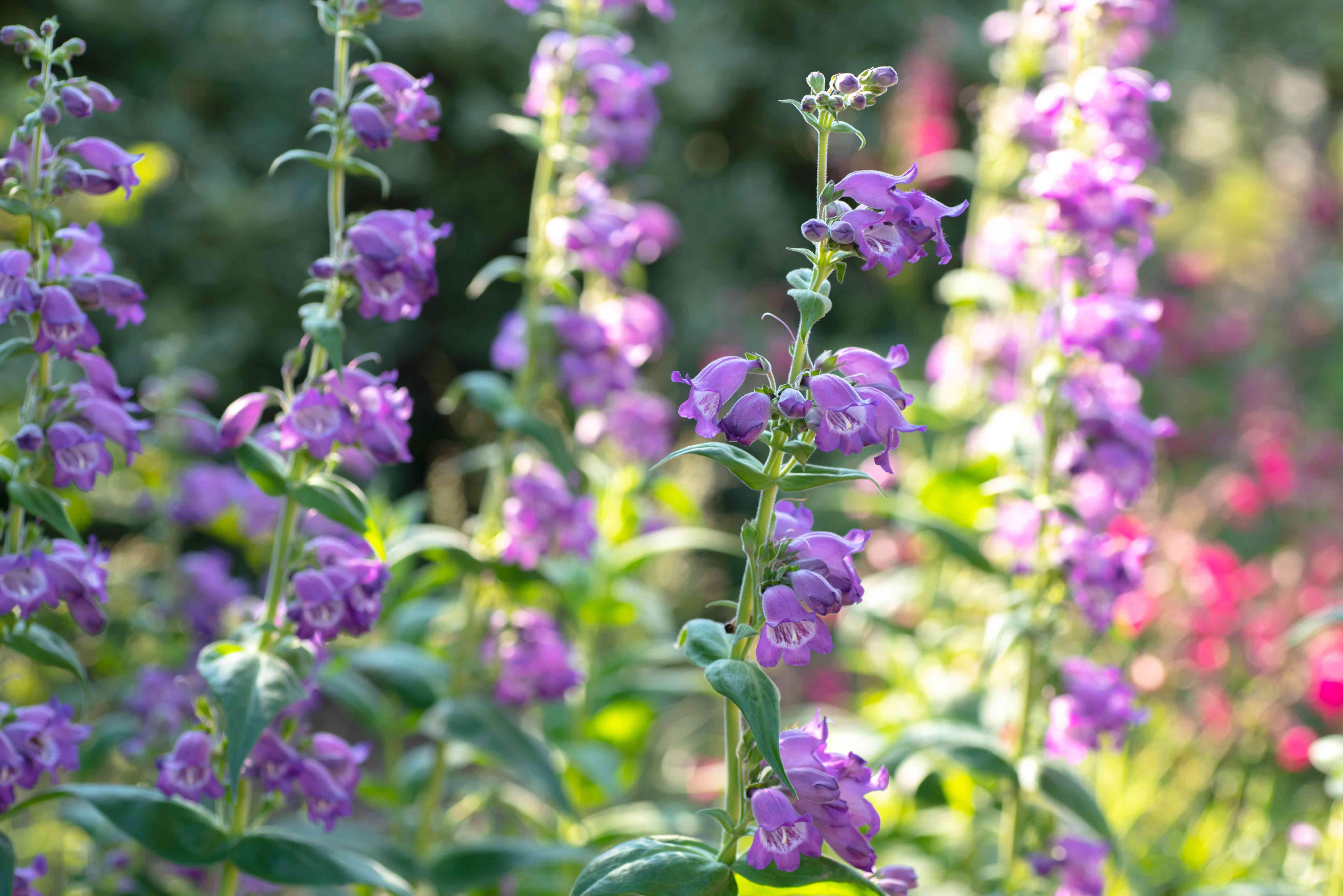 Beardtongue stems with purple flowers