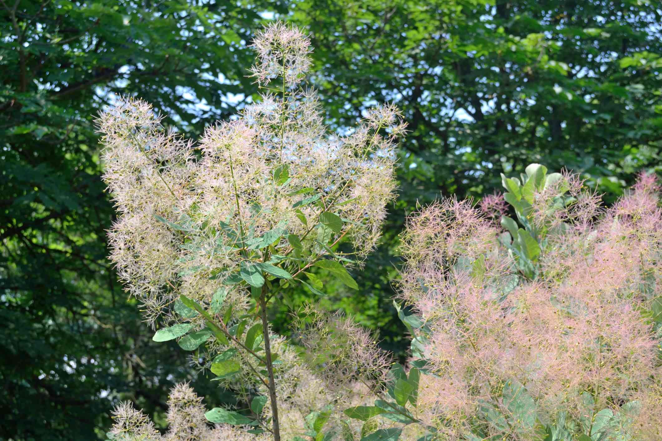 Smoke bush in bloom.