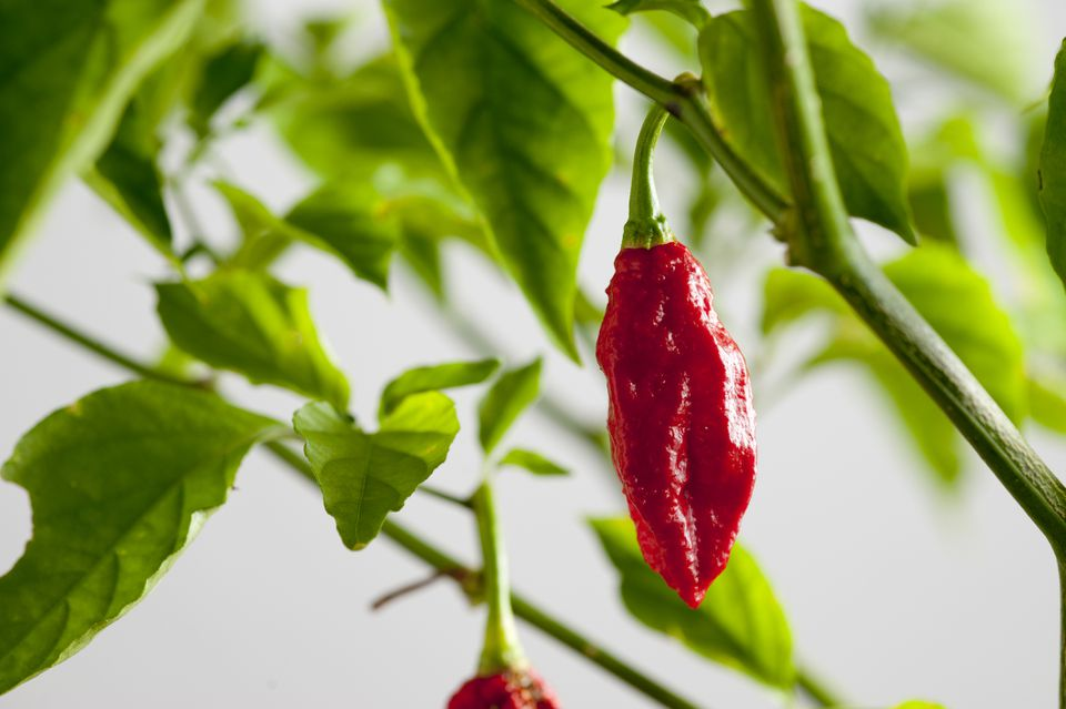 Mature ghost pepper fruits hang from a ghost pepper plant.