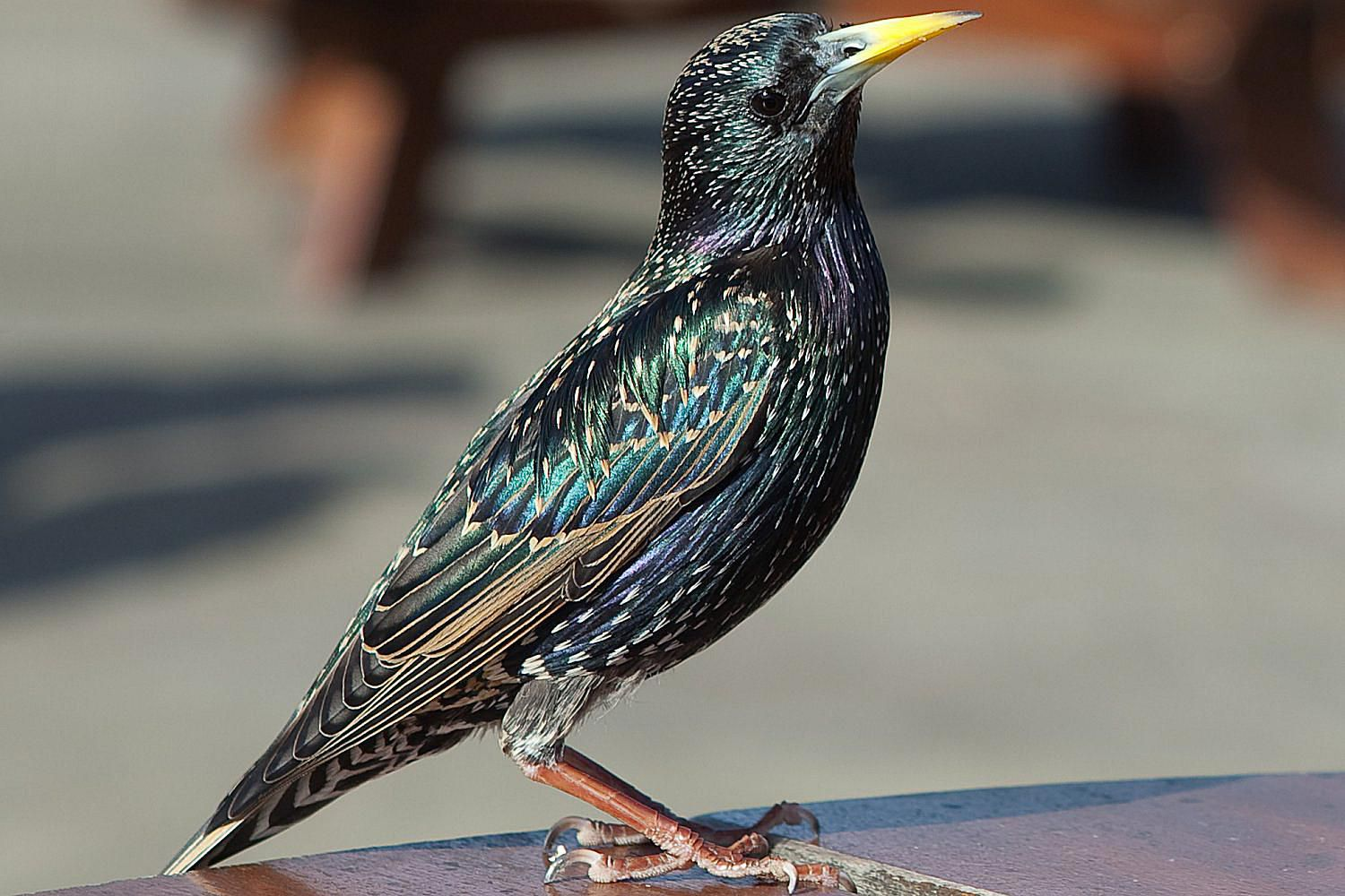 Common Or European Starling