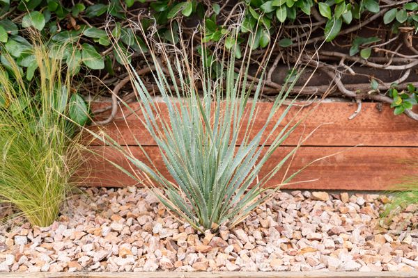 Desert spoon shrub with blue-green serrated leaves surrounded by small rocks and wood ledge