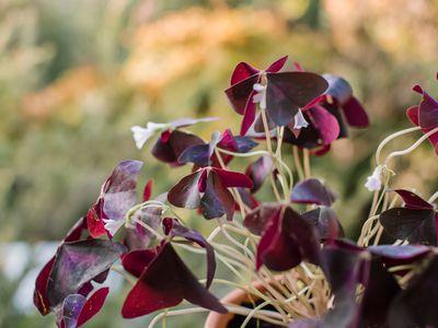 closeup of purple shamrock