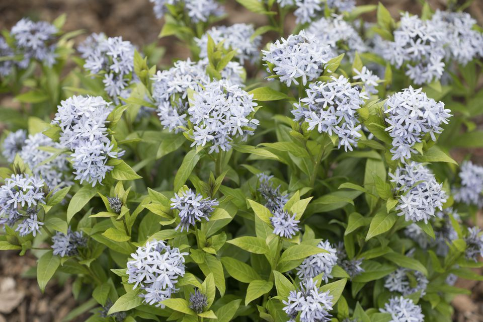 Amsonia flowers
