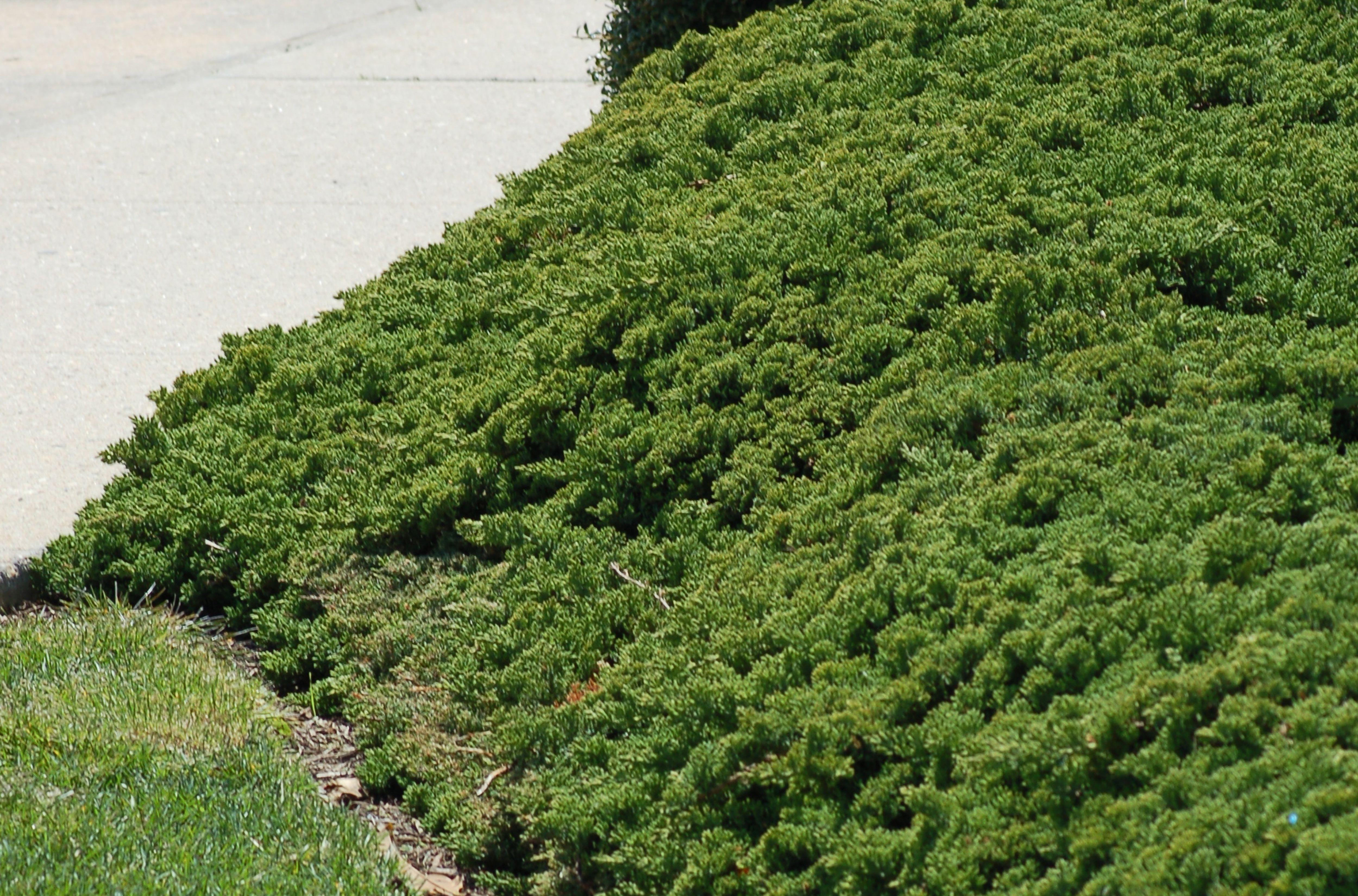Creeping juniper planted near a sidewalk.