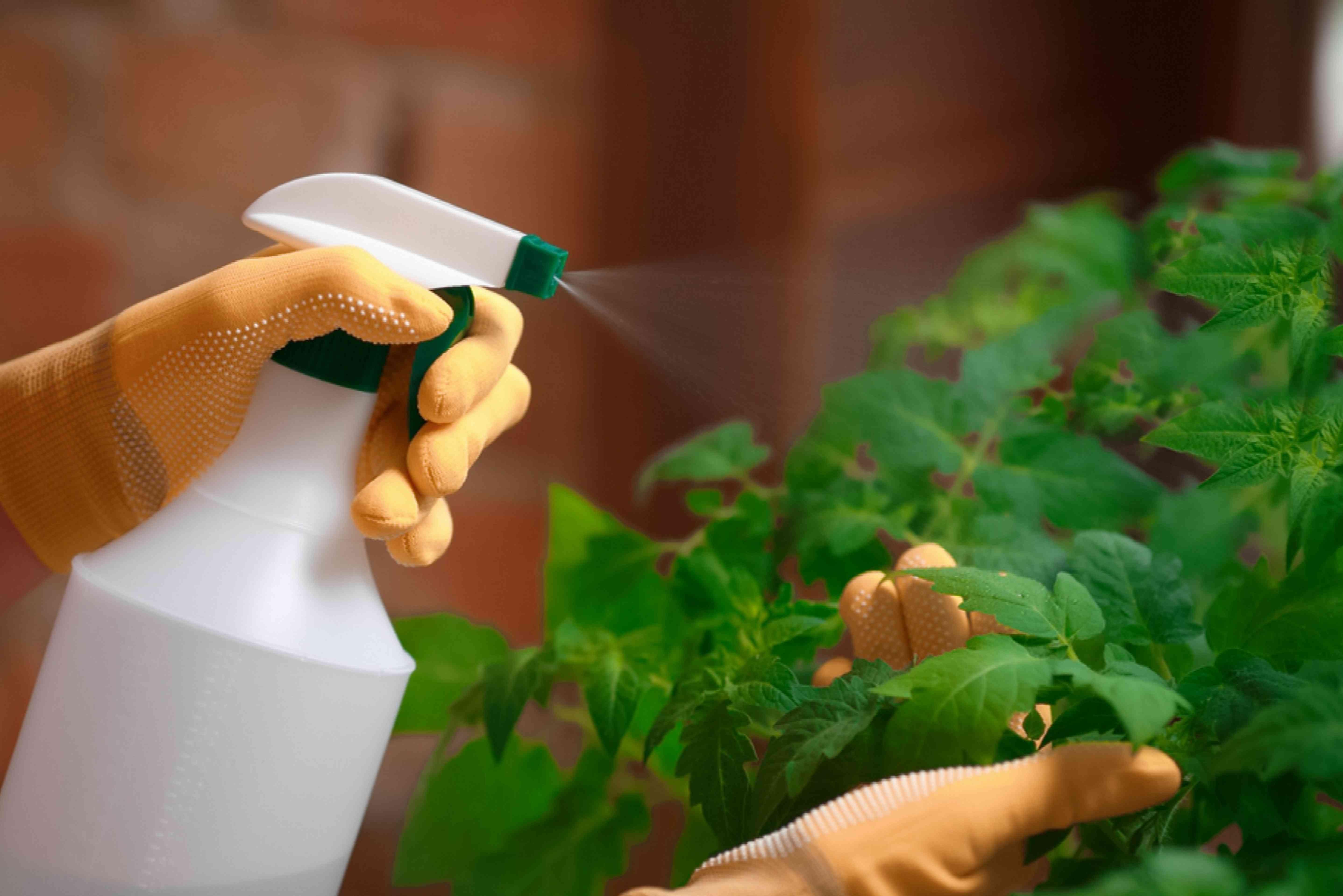using spray on tomato plants