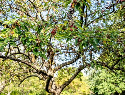 Sugar tyme crabapple tree with sprawling curved branches and small red fruit hanging