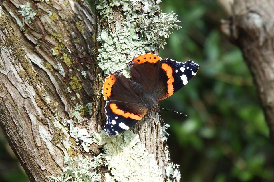 Vanessa atalanta mariposa, encaramado en un árbol con líquenes