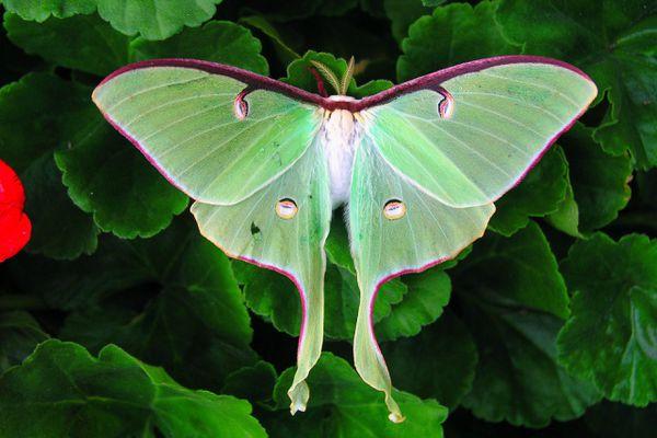 Luna Moth on Geraniums
