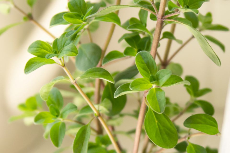 Sweet marjoram herb with thin stems and small green leaves closeup