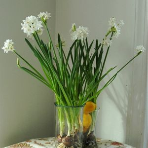 Winter container garden of blooming paperwhite narcissus